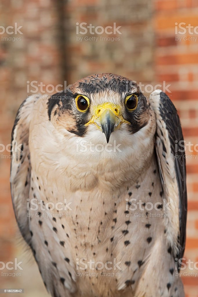 Close up of Lanner Falcon stock photo