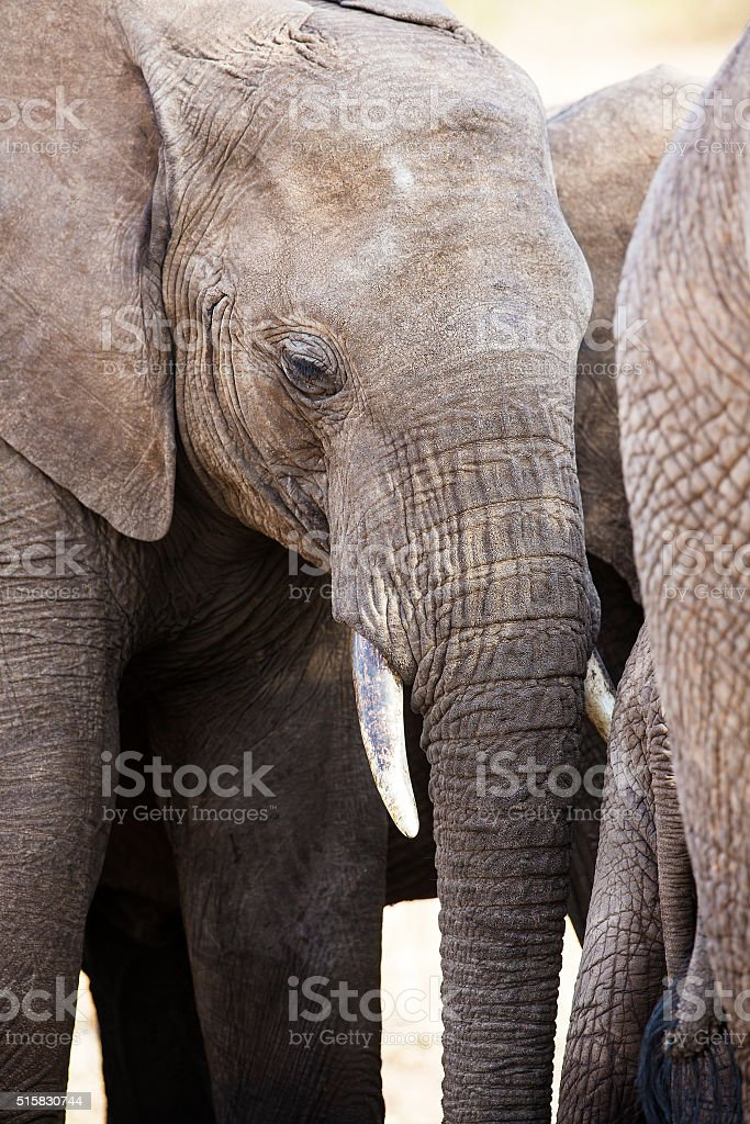 Close up of large african elephant in Tanzania stock photo