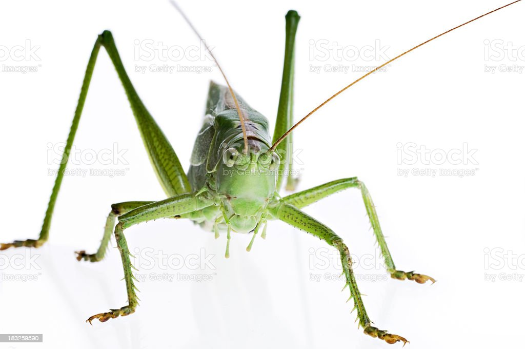 Close Up Of Large Green Grasshopper Orthoptera On White Background royalty-free stock photo