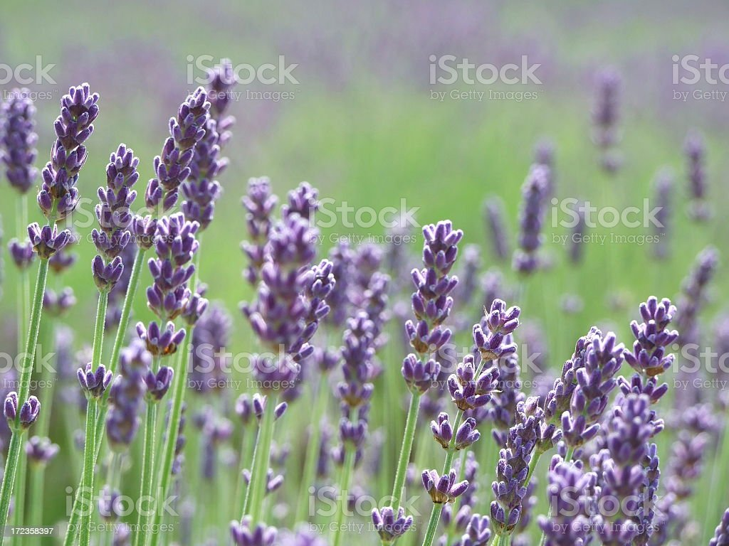 Close up of lavender in a large field stock photo