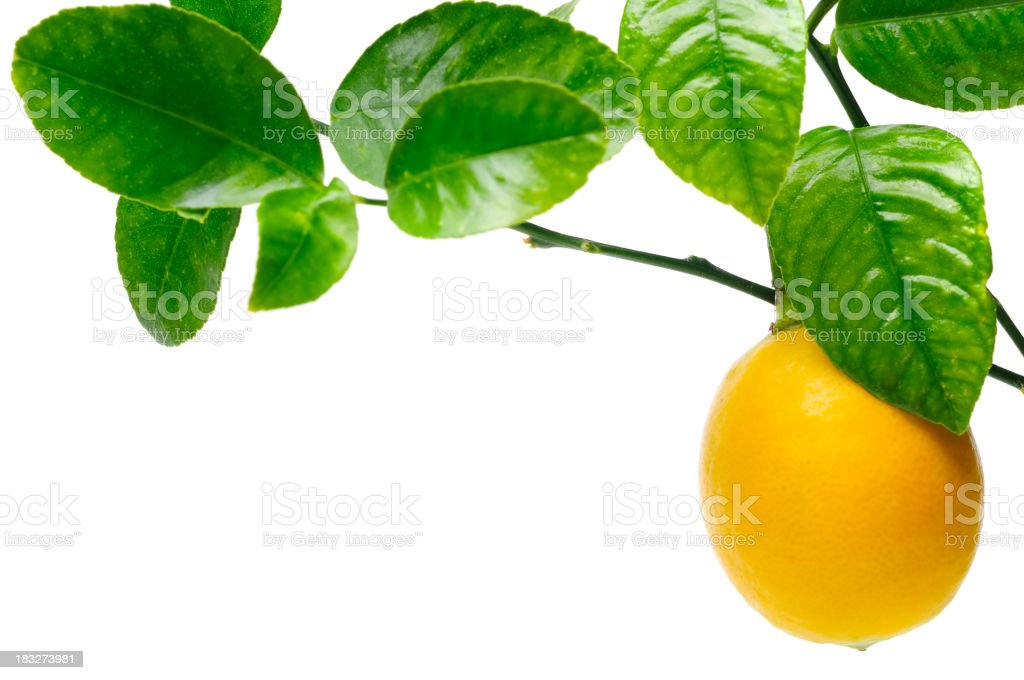 Close up of lemon hanging from tree against white background stock photo