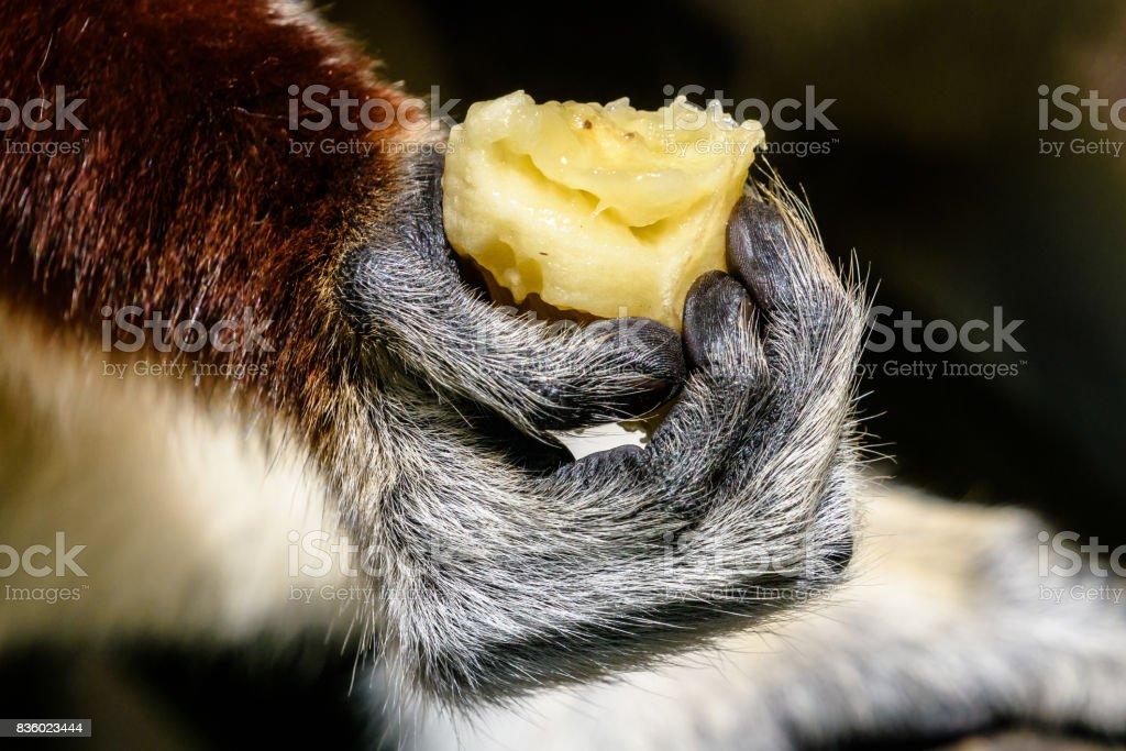 Close up of lemur hand holding banana in Madagascar stock photo