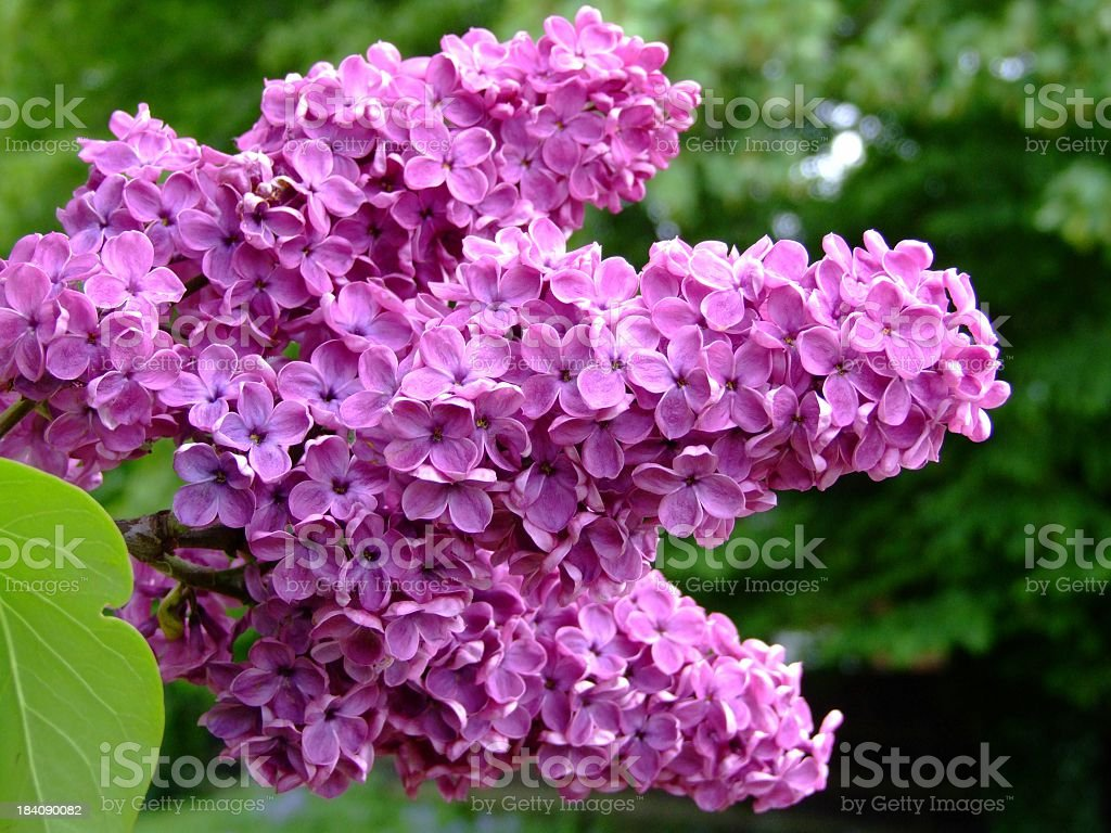 Close up of lilac blossoms outdoors with blurred background royalty-free stock photo