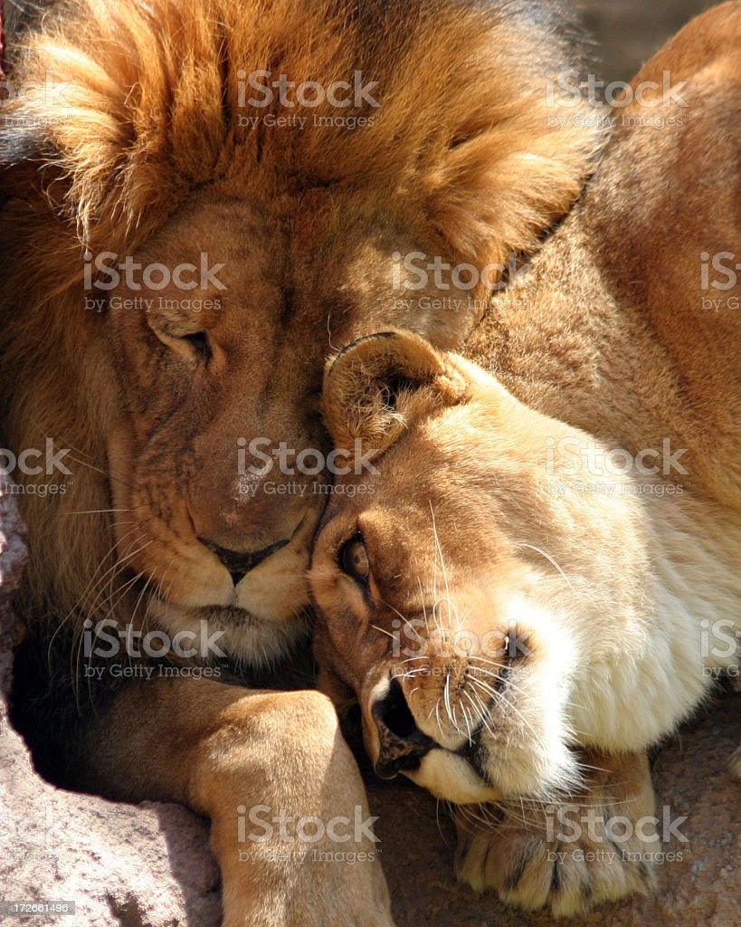 Close up of lion and lioness rubbing heads in sunlight stock photo