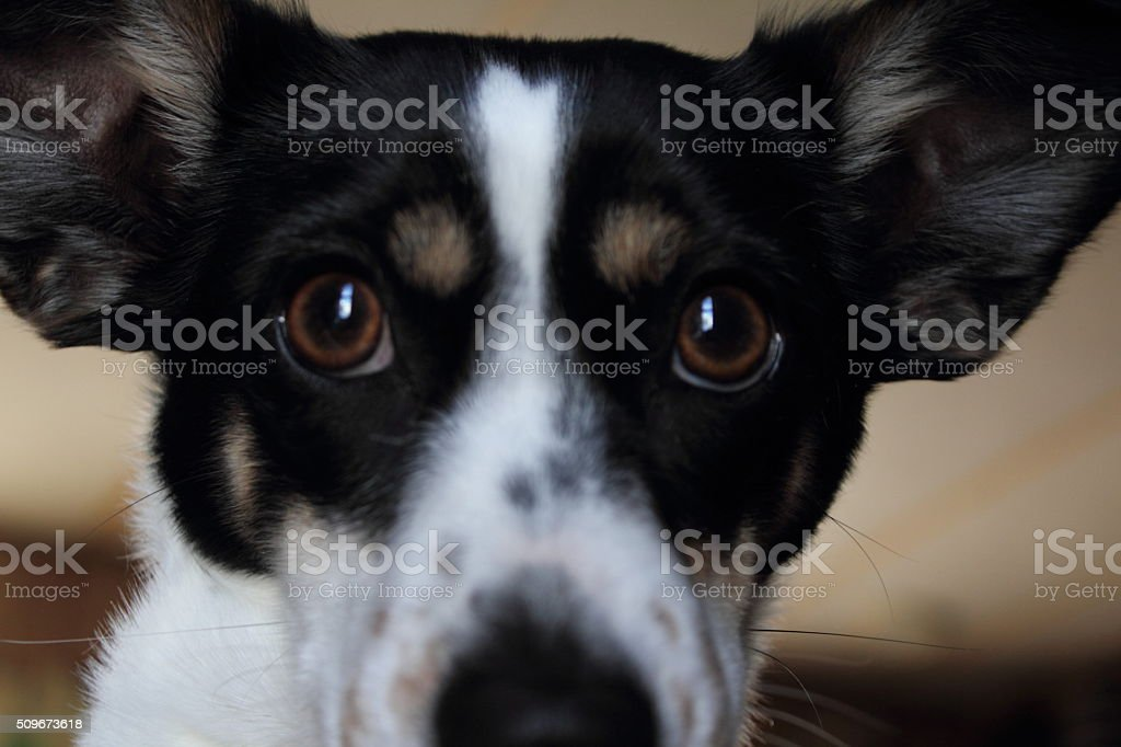 Close up of little dog's face stock photo