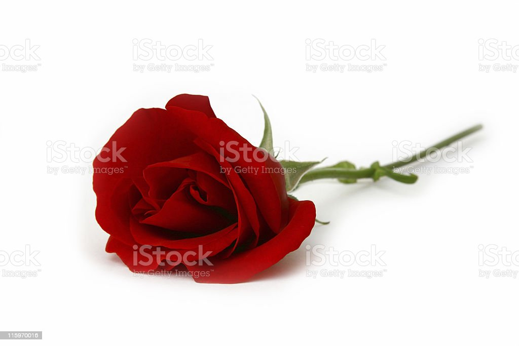 Close up of long stemmed red rose lying on white background royalty-free stock photo