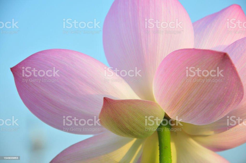 close up of lotus flower petal royalty-free stock photo