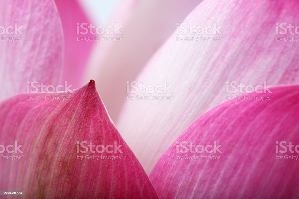 close up of lotus petal background. stock photo