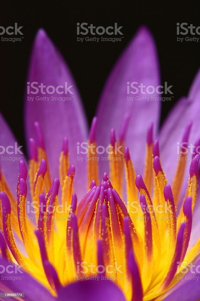 Close up of lotus royalty-free stock photo