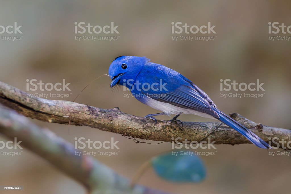 Close up of male  Black-naped Monarch (Hypothymis azurea) stock photo