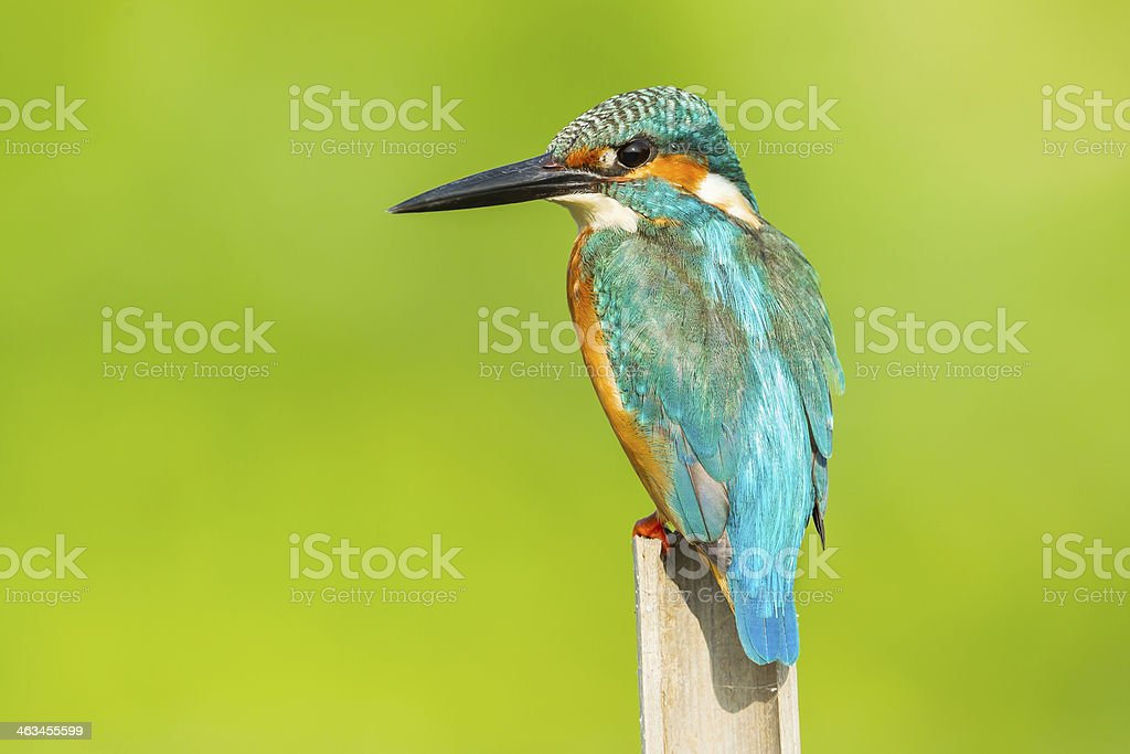 Close up of Male Common kingfisher royalty-free stock photo