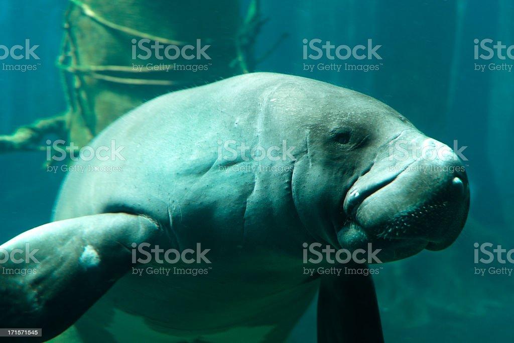 Close up of manatee swimming making sad face stock photo