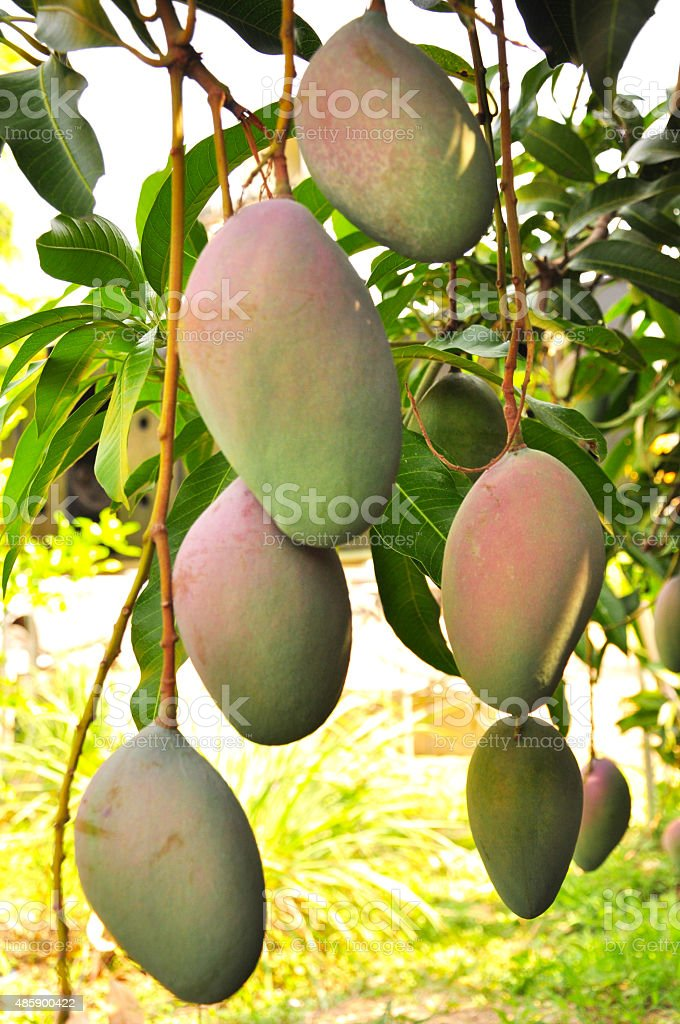 Close up of mangoes hanging on a mango tree stock photo