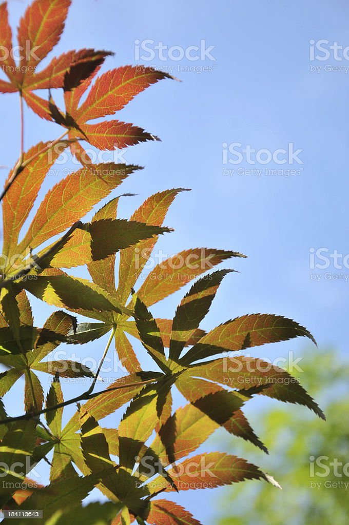 Close up of maple leaf royalty-free stock photo