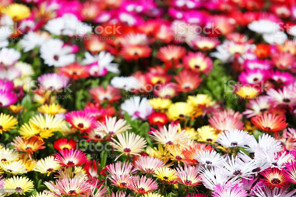Close up of mesembryanthemum flower stock photo