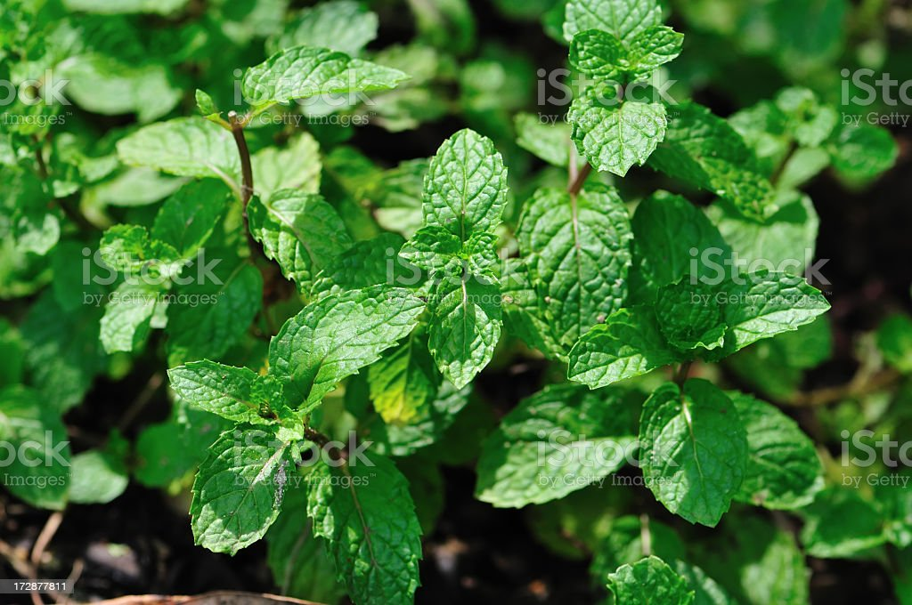 Close up of mint leaves on the ground royalty-free stock photo