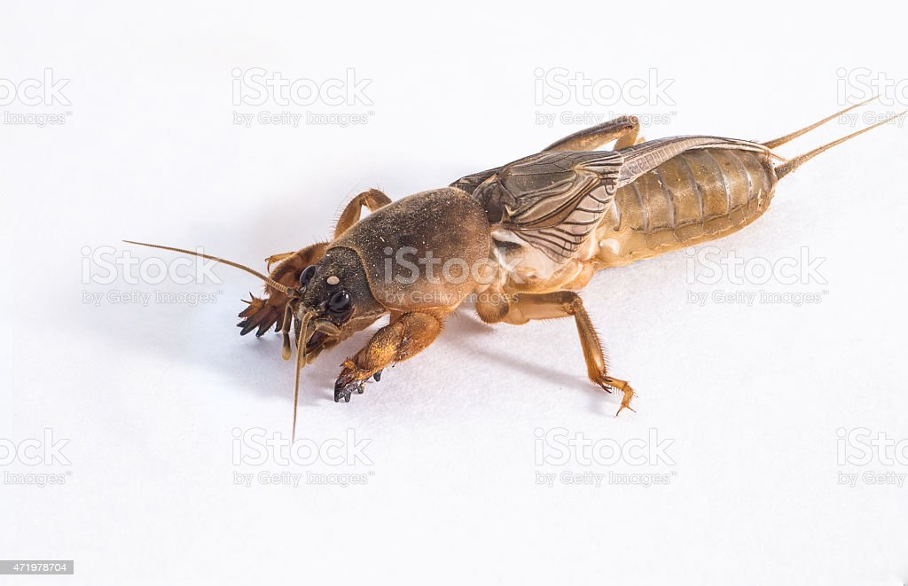 Close up of mole cricket stock photo