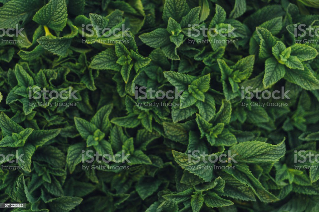 Close up of Moroccan mint stock photo