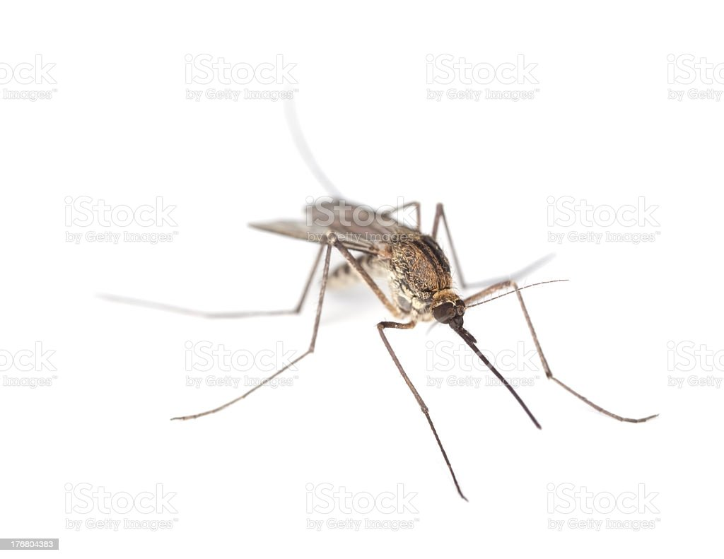 Close up of mosquito on white background stock photo