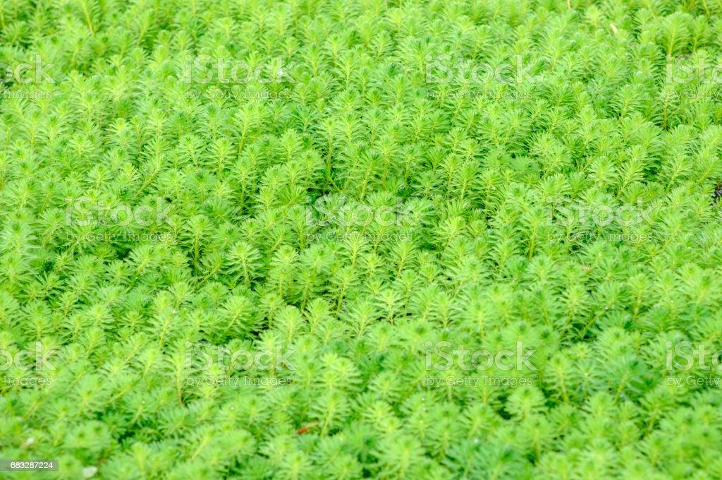 close up of  Myriophyllum aquaticum stock photo