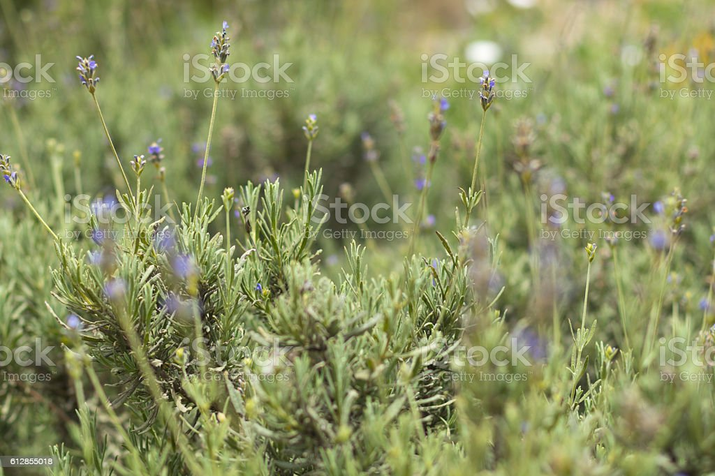 Close up of natural Lavender plants growing wild stock photo