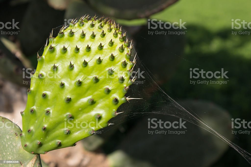 Close up of new prickly pear leaf stock photo