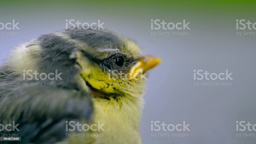 Close up of nice little bird on a gray background. stock photo