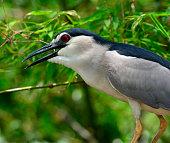 Close up of Night Heron bird with big red eye
