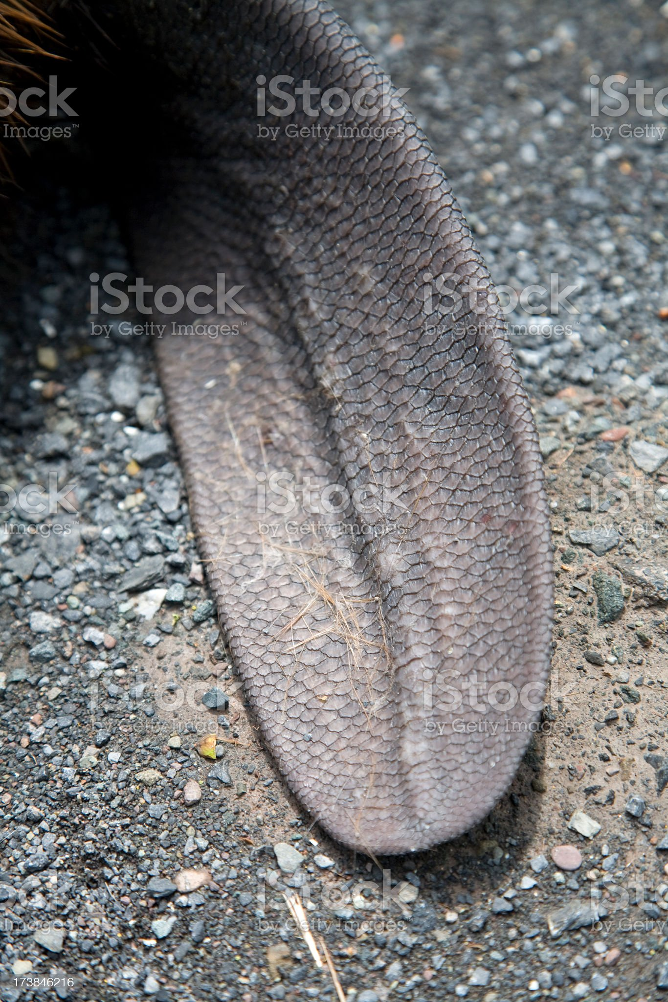 Close up of North American Beaver Tail on Asphalt (Roadkill) royalty-free stock photo