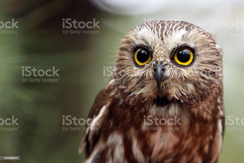 Close up of Northern Saw-Whet Owl royalty-free stock photo