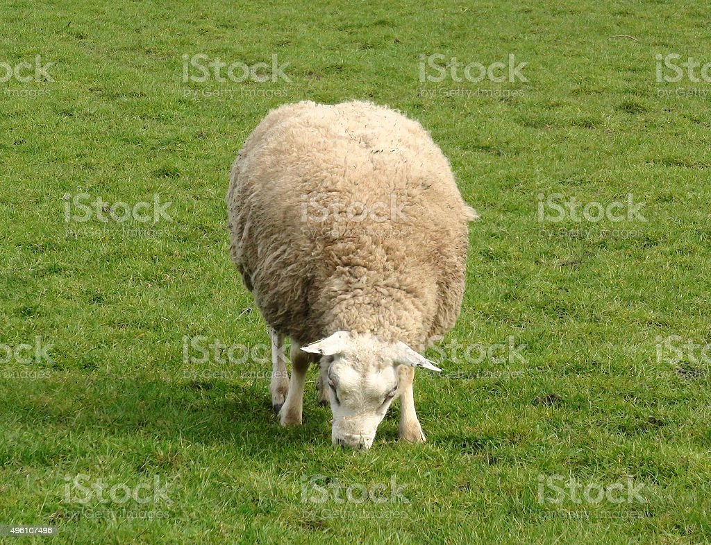 Close Up Of One Animal Sheep Grazing