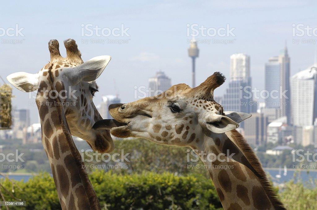 Close up of one giraffe licking another in the face stock photo