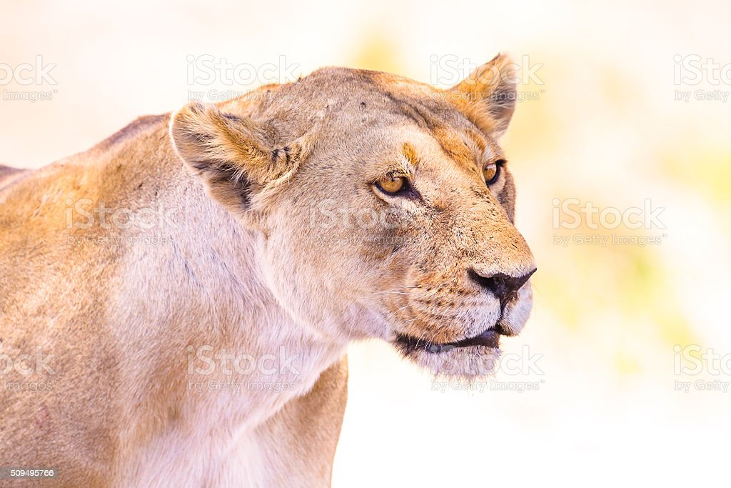 Close up of one large wild lioness in Africa stock photo