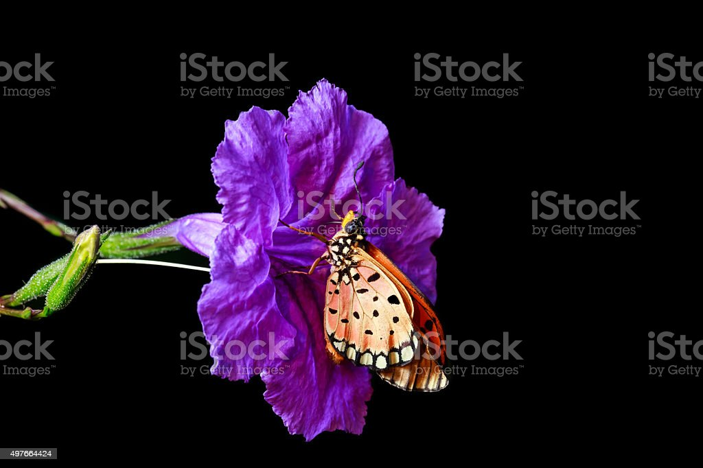 close up of orange butterfly on the purple flower stock photo