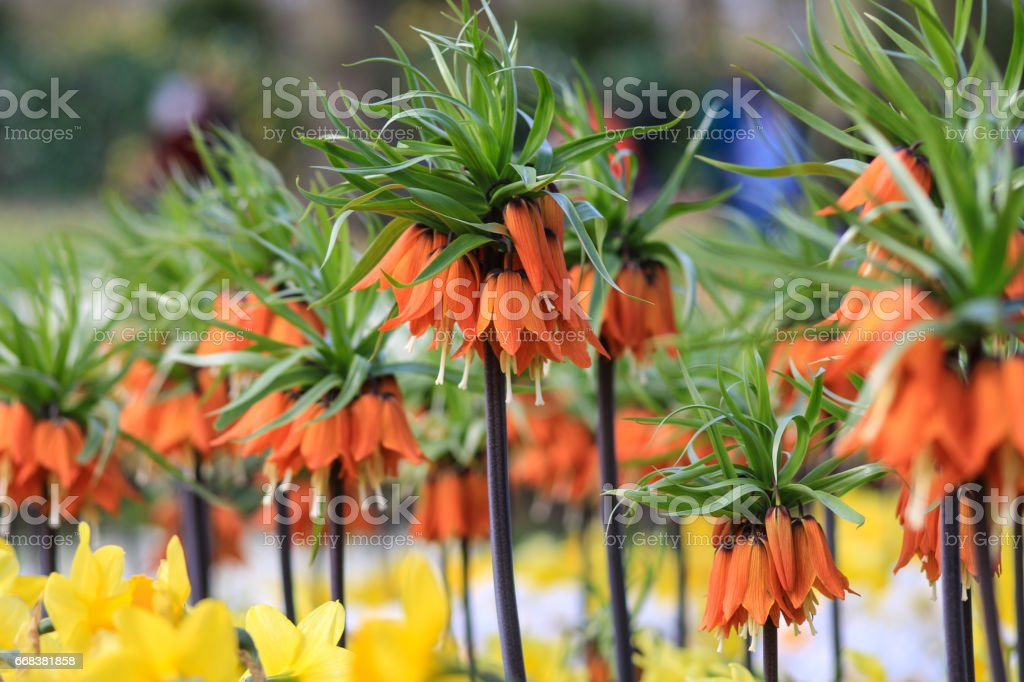 Close up of orange chequered lilies stock photo