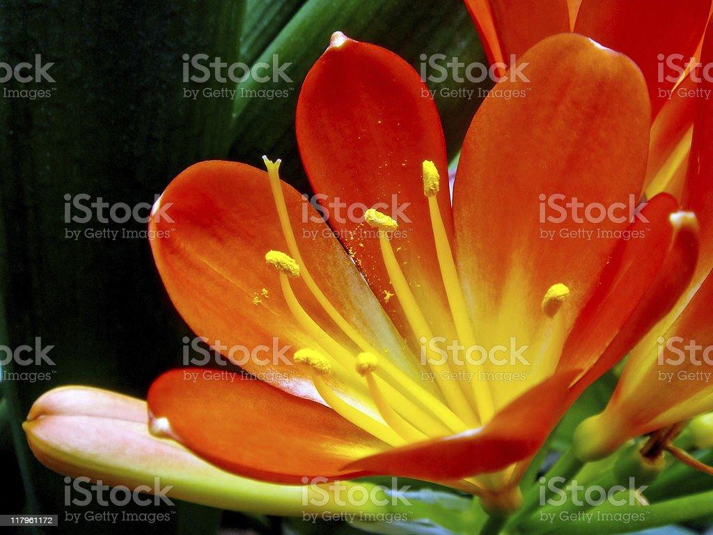 Close up of orange kaffir lily stock photo