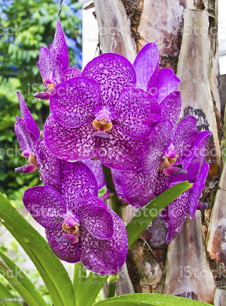 close up of Orchid flower royalty-free stock photo