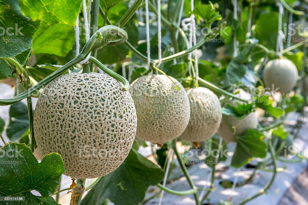 Close up of organic melons in a farm stock photo