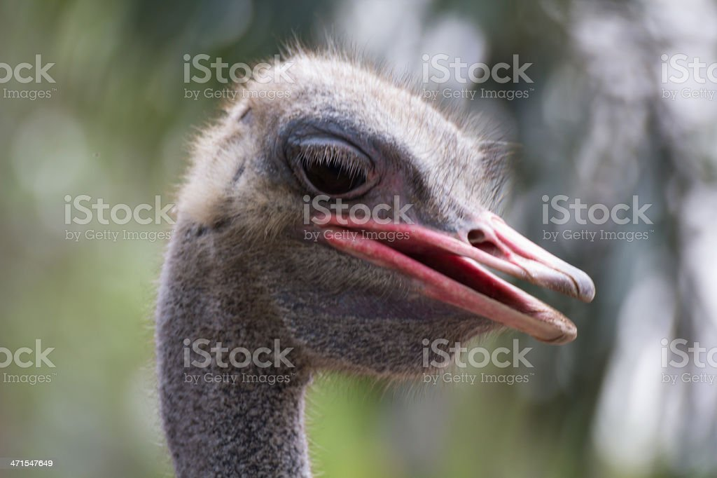 Close up of ostrich royalty-free stock photo