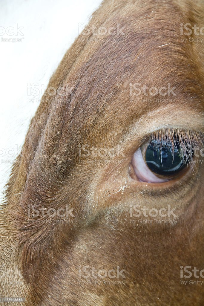 Close up of ox eye stock photo
