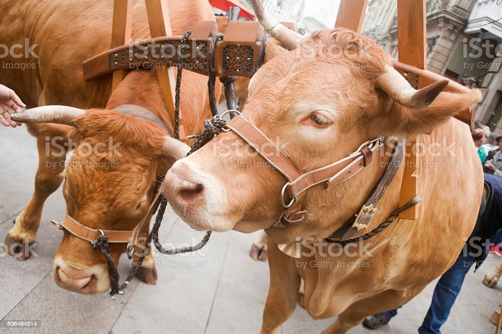 Close up of oxen and oxbow during a parade. stock photo