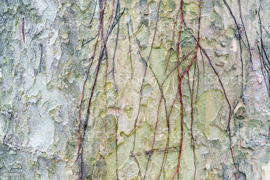 Close up of Padauk  bark texture stock photo