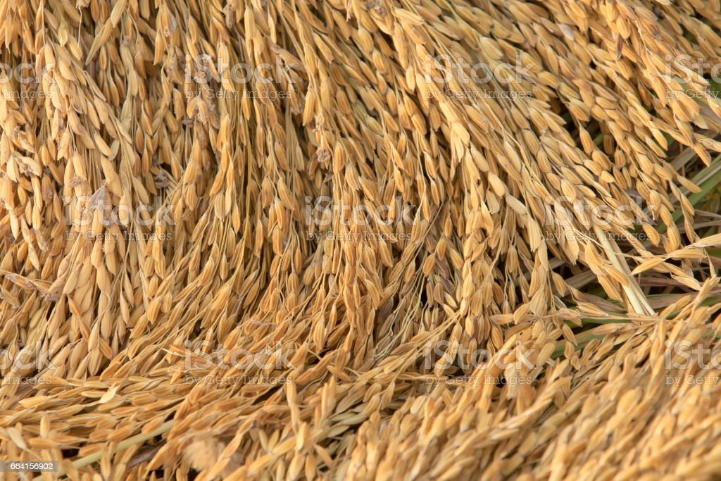 Close up of  paddy rice on rice plant stock photo