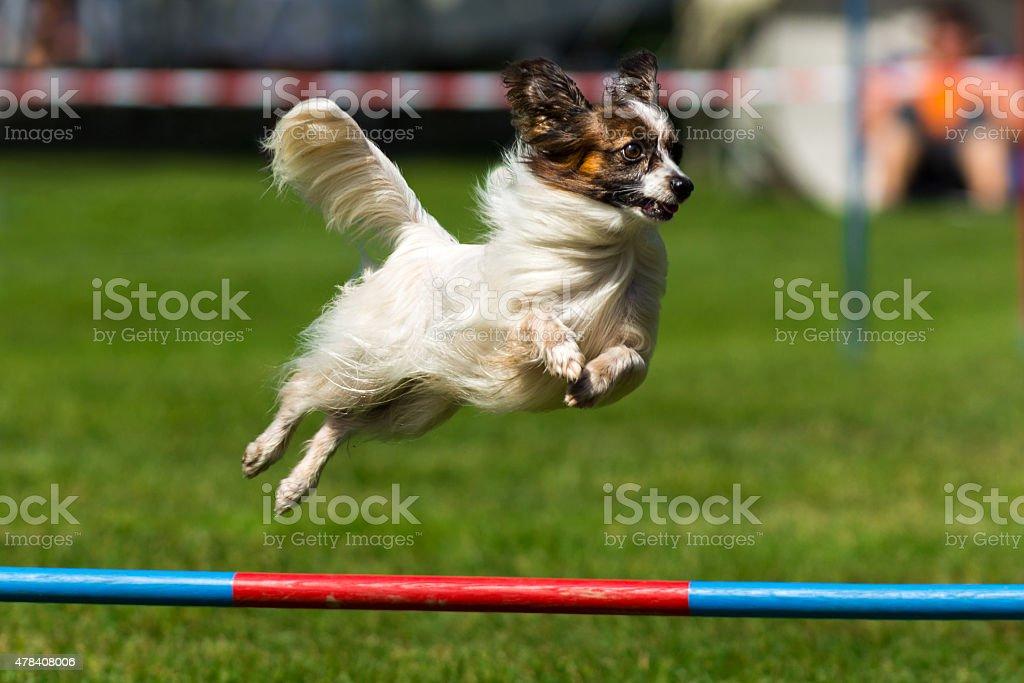 Close up of papillon dog on agility course (single hurdle) stock photo
