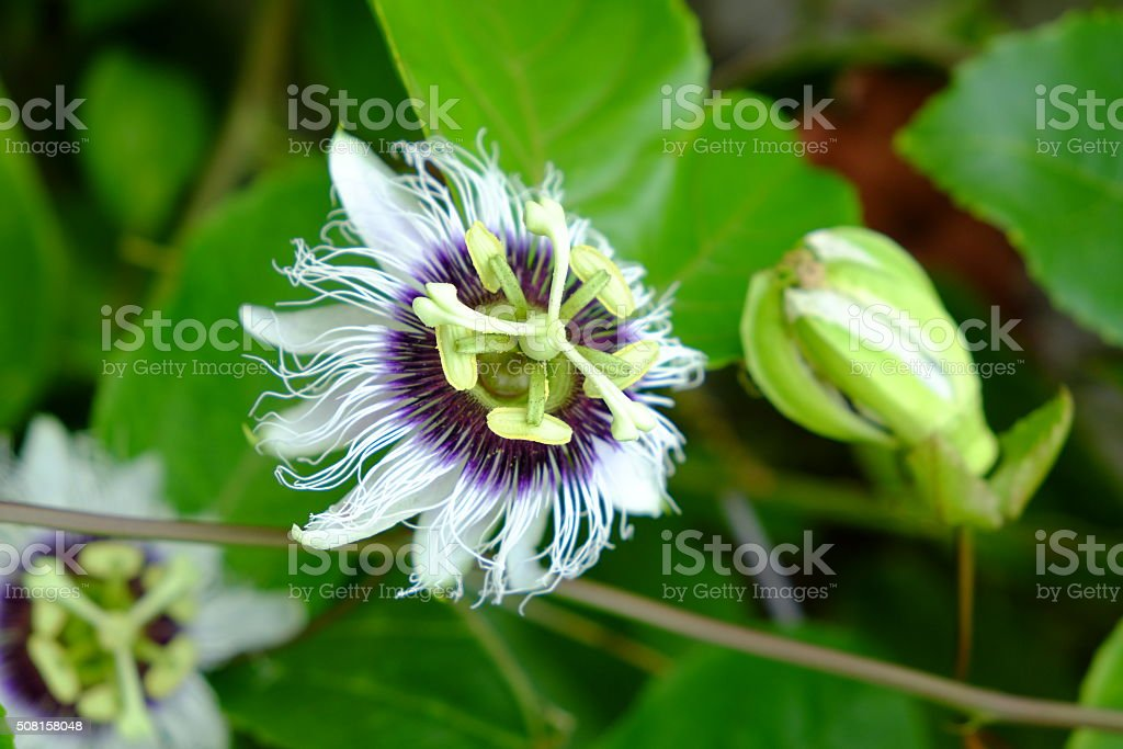Close up of passion fruit flower (Passiflora) from Rasdhoo atoll stock photo