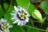 Close up of passion fruit flower (Passiflora) from Rasdhoo atoll
