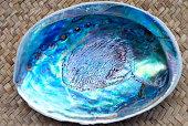 Close Up of Paua Shell (New Zealand Abalone)