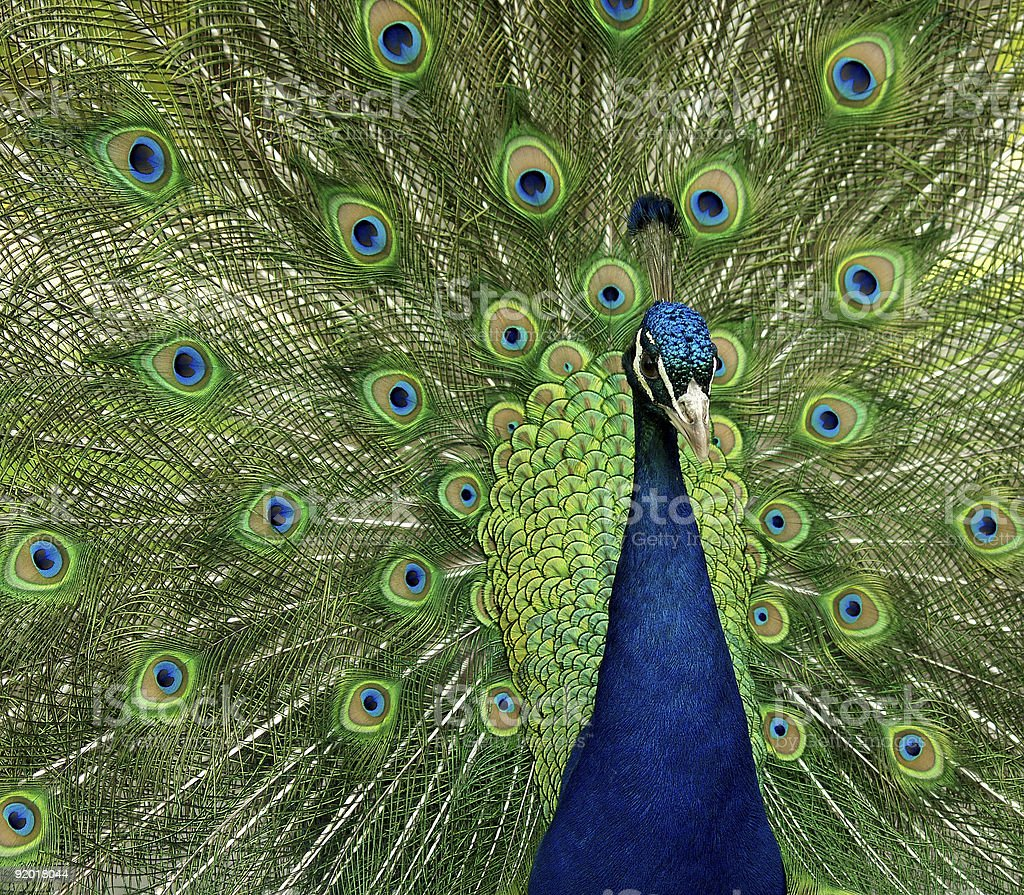 Close up of peace displaying feathers stock photo