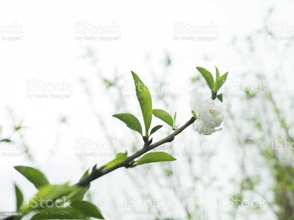 close up of peach flowers over white royalty-free stock photo