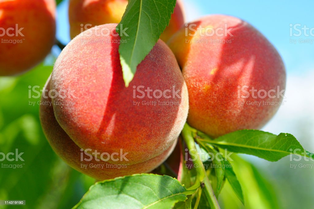 Close up of peaches on a tree ripening in the sun stock photo